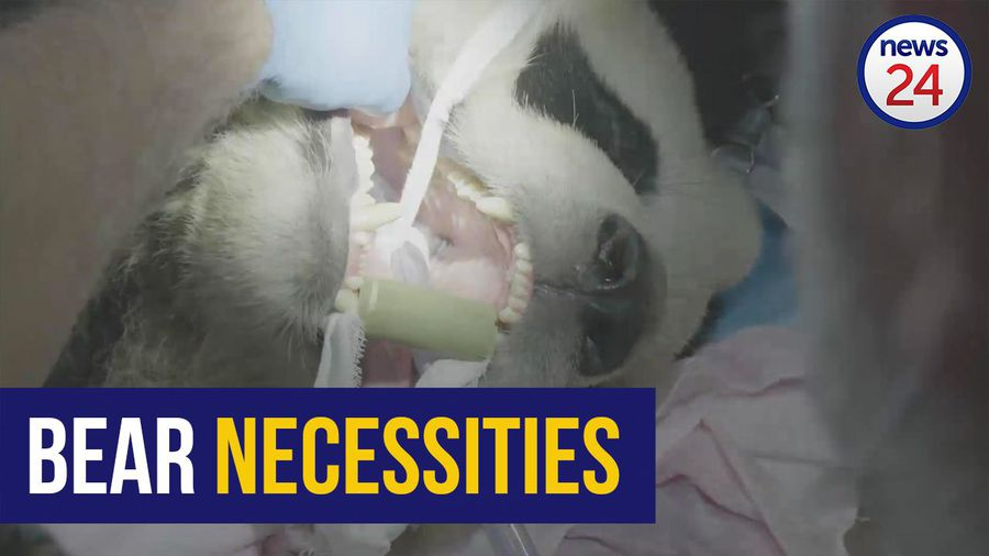 WATCH | Open wide! SA veterinary dentist checks pandas' teeth in China