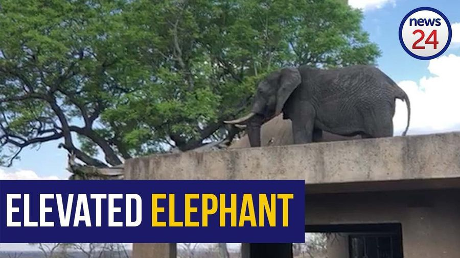 WATCH | Cheeky Sabi Sabi elephant grazes on tree from resort roof