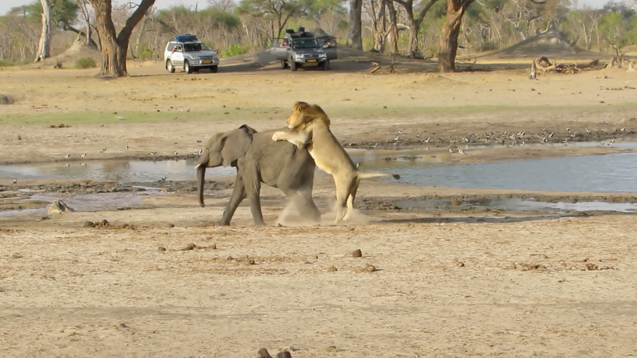 Latest Sightings: Baby elephant in a stand-off with lions - who will win?