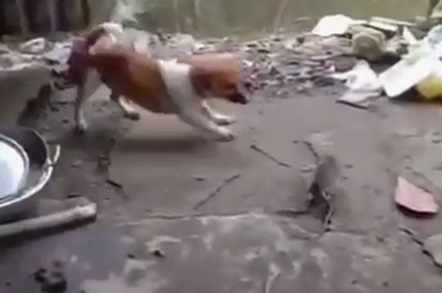 WATCH: DOG FIGHTING WITH RAT