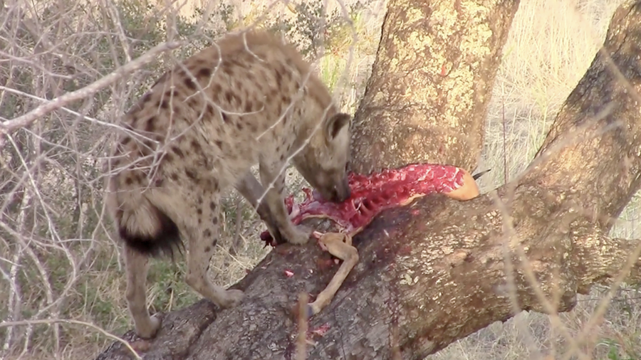 Latest Sightings: Hyena proves why leopards can eat in trees and they can't