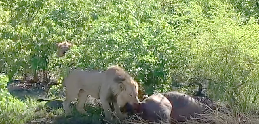 Latest Sightings: Lion makes the most of hunt, tucking into 2-for-1 buffalo snack (GRAPHIC CONTENT)