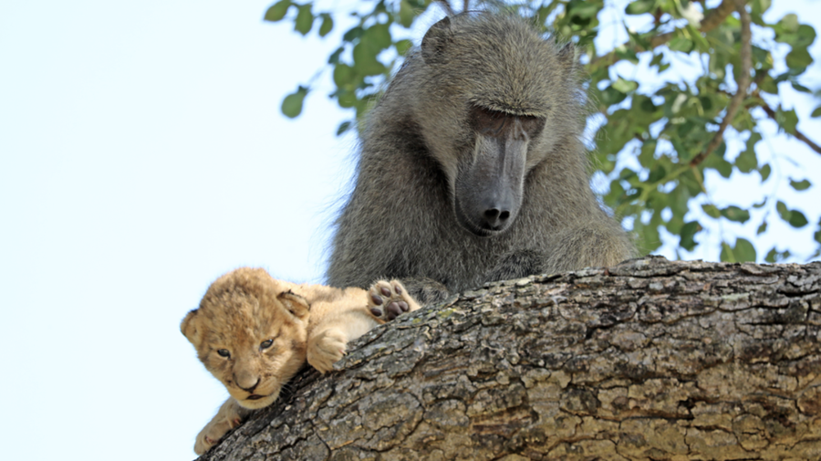 Latest Sightings: Baboon kidnaps lion cub and grooms it