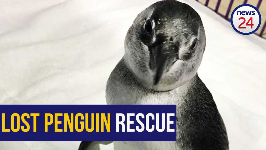 WATCH | Penguin rescued in KZN after being separated from her group during sardine run