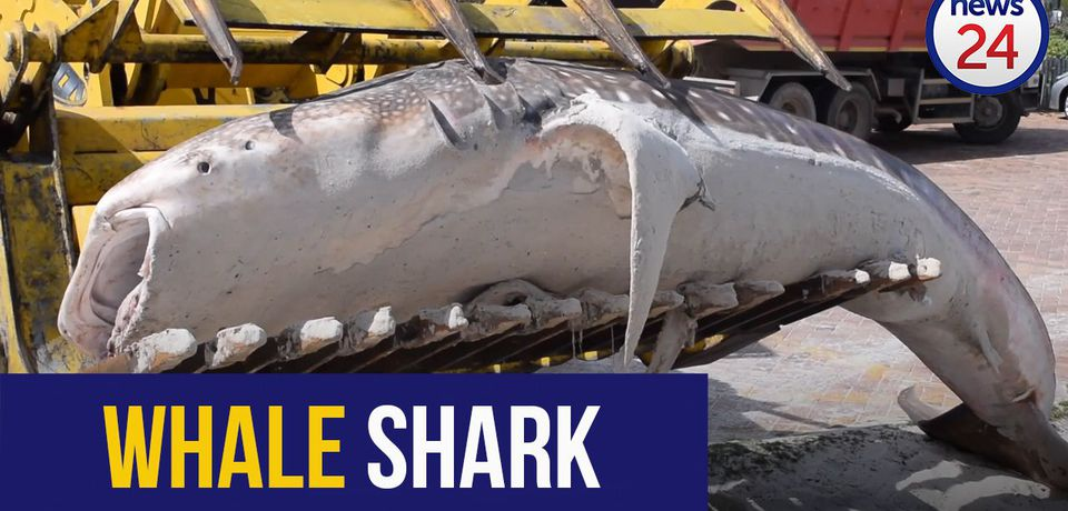 WATCH: Dead whale shark removed from Cape beach