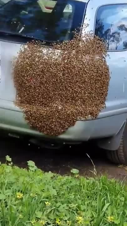 Bees swarm car in Shepparton